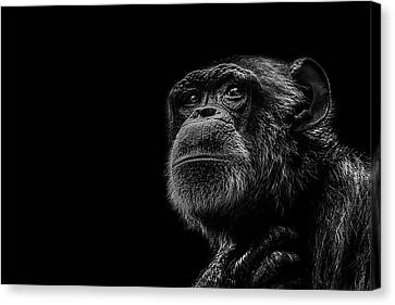 Chimpanzee Canvas Print - Trepidation by Paul Neville