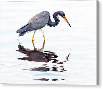 Canvas Print featuring the photograph Tri-color Heron by Phil Stone
