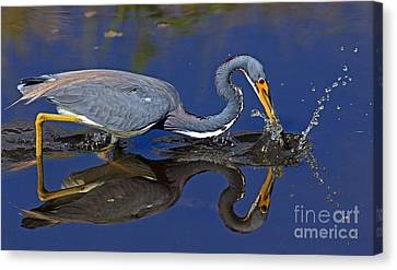 Canvas Print featuring the photograph Tri Color Heron Splash by Larry Nieland