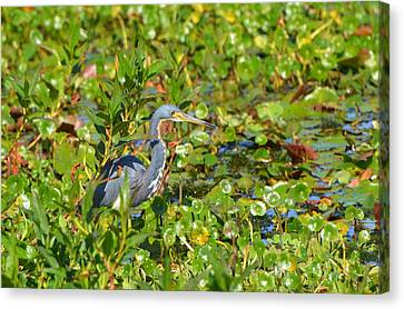 Tri Colored Heron 2 Canvas Print by Jodi Terracina