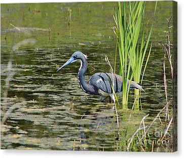 Tri-colored Heron At Local Pond Canvas Print by Lynda Dawson-Youngclaus