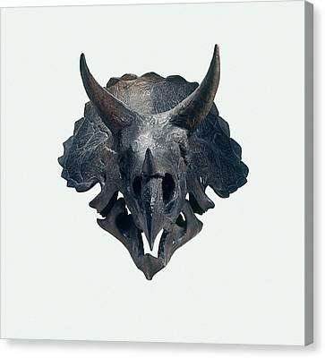 Triceratops Canvas Print - Triceratops Skull by Dorling Kindersley/uig