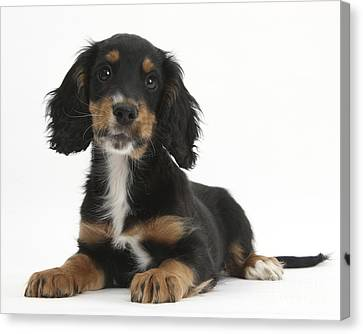 Tricolor Working Cocker Spaniel Puppy Canvas Print