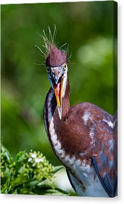 Tricolored Heron In Awe Canvas Print by Andres Leon
