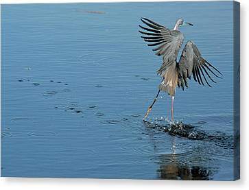 Tricolored Heron Landing On Water Canvas Print