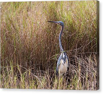Canvas Print featuring the photograph Tricolored Heron Peeping Over The Rushes by John M Bailey