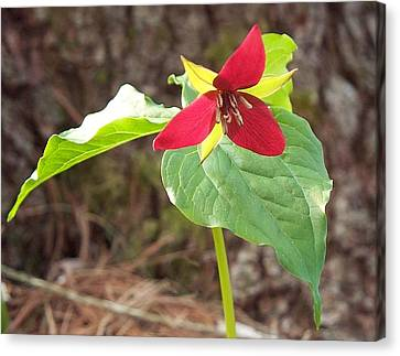 Trillium Canvas Print by Joy Nichols