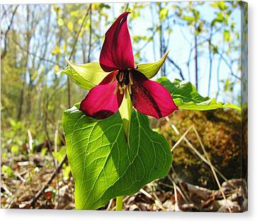 Canvas Print featuring the photograph Trillium Wild Flower by Sherman Perry