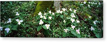 Trillium Wildflowers On Plants, Chimney Canvas Print