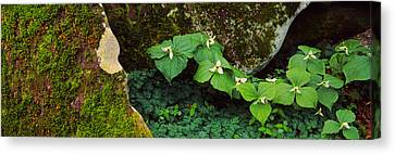 Trillium Wildflowers On Plants, Great Canvas Print