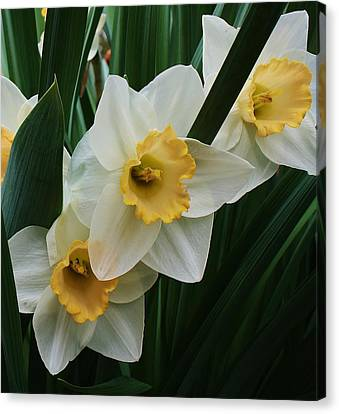 Trio Of Daffodils Canvas Print by Bruce Bley