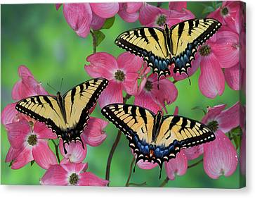 Tiger Swallowtail Canvas Print - Trio Of Eastern Tiger Swallowtail by Darrell Gulin