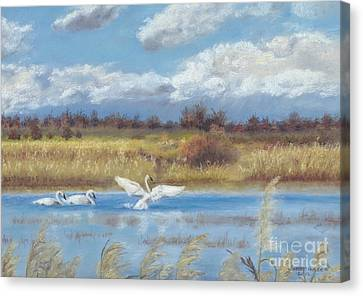 Trio Of Trumpeter Swans  Canvas Print by Jymme Golden