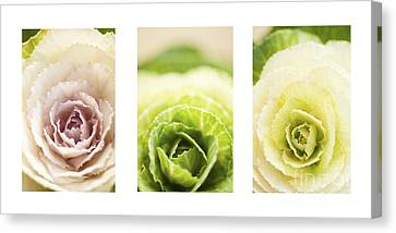 Close Focus Floral Canvas Print - Triptych Of Ornamental Cabbages by Anne Gilbert