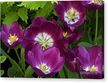 Triumph Tulips Negrita Variety Canvas Print by Byron Varvarigos
