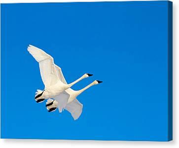 Flying Swan Canvas Print - Triumphant by TL  Mair