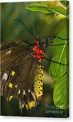 Canvas Print featuring the photograph Troides Helena Butterfly  by Olga Hamilton