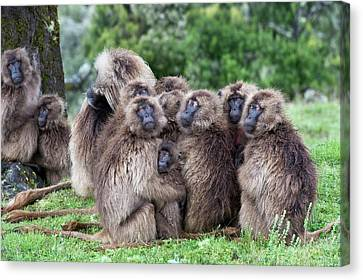 Troop Of Gelada Baboons Huddled Together Canvas Print by Tony Camacho