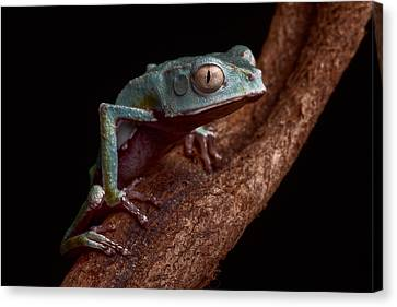 Tropical Amazon Rain Forest Tree Frog Canvas Print by Dirk Ercken