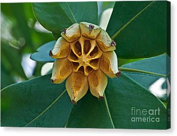 Tropical Autograph Tree Fruit Art Prints Canvas Print by Valerie Garner