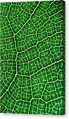 Tropical Fig Leaf Veins Canvas Print