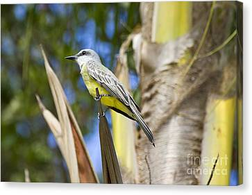 Canvas Print featuring the photograph Tropical Kingbird by Teresa Zieba
