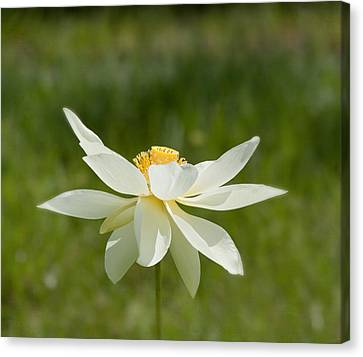Tropical Lotus Flower Canvas Print by Kim Hojnacki