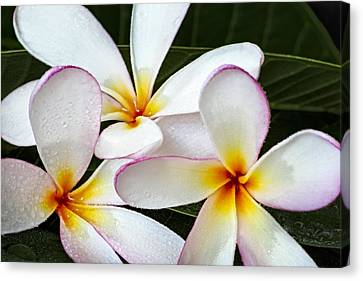 Seashell Canvas Print - Tropical Maui Plumeria by Susan Candelario