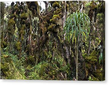 Tropical Mountain Forest, Rwenzori Canvas Print by Martin Zwick