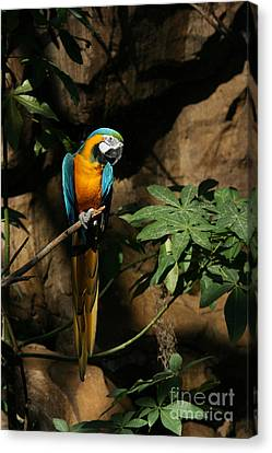 Blue And Gold Macaw Canvas Print - Tropical Parrot by Judy Whitton