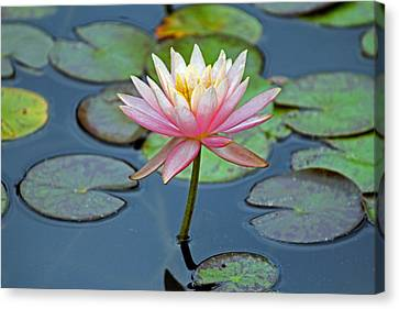 Tropical Pink Lily Canvas Print by Cynthia Guinn