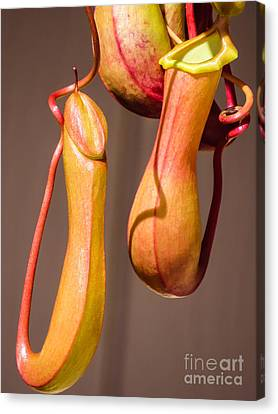 Tropical Pitcher Plant Canvas Print by Zina Stromberg