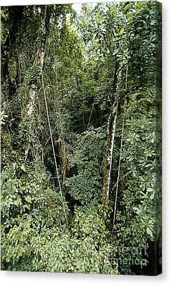 Tropical Rainforest, Panama Canvas Print by Gregory G. Dimijian