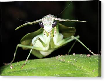 Tropical Shield Mantis Canvas Print by Dr Morley Read