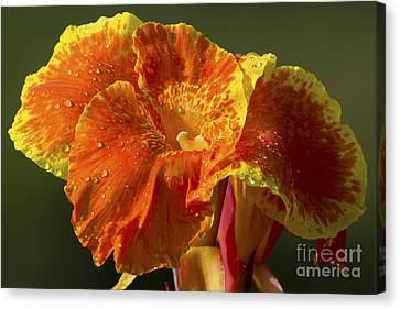 Tropicana Canna Lily Canvas Print by Meg Rousher