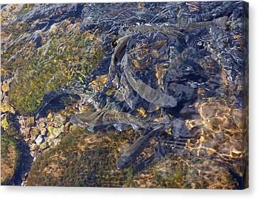 Trout Art Prints Creek Lake Trout Photography Canvas Print by Baslee Troutman
