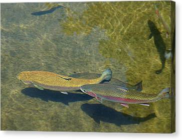 Trout Art Prints Wild Game Sports Fishing Canvas Print by Baslee Troutman