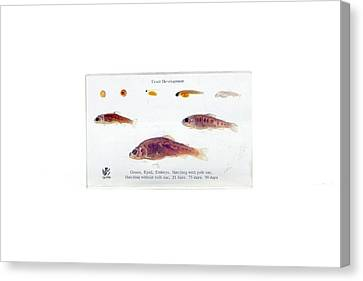 Trout Development Canvas Print by Gregory Davies