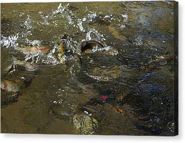 Trout Feeding Surface Rainbow Trout Art Prints Canvas Print by Baslee Troutman