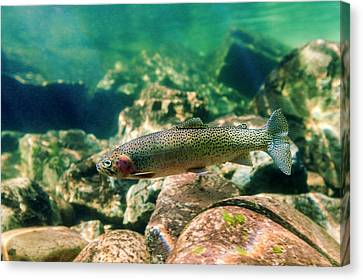 Trout In The Locsa River, Idaho Canvas Print