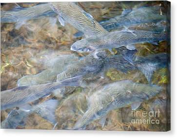 Trout Pond Abstract Canvas Print by Optical Playground By MP Ray