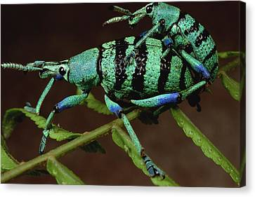 True Weevil Couple Mating Papua New Canvas Print by Mark Moffett