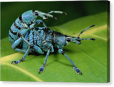 True Weevil Pair Mating Papua New Guinea Canvas Print by Mark Moffett