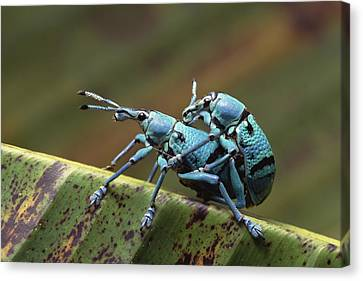 True Weevils Mating Papua New Guinea Canvas Print by Gerry Ellis