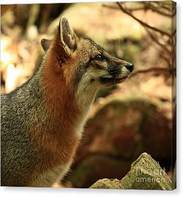 Truly Captivated By The Rare Grey Fox Canvas Print by Inspired Nature Photography Fine Art Photography
