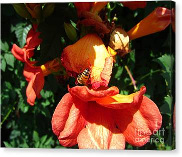 Trumpet Flower Orange And Visiting Bee Canvas Print