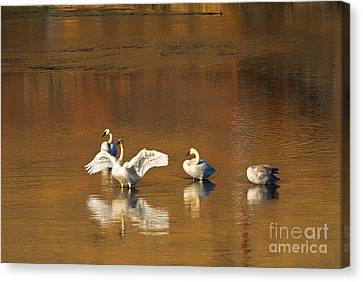 Swans... Canvas Print - Trumpeter Ballet by Mike  Dawson
