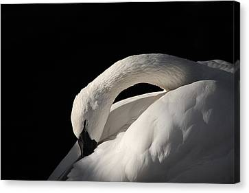 Trumpeter Canvas Print by Karol Livote