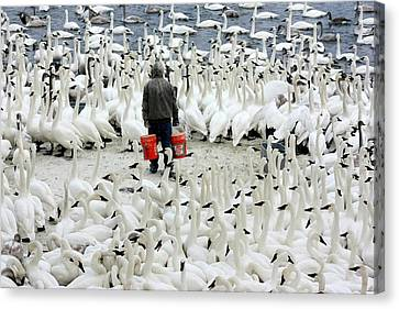 Trumpeter Swan Feeding Time Canvas Print by Amanda Stadther