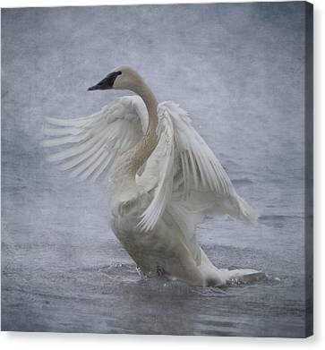 Trumpeter Swan - Misty Display Canvas Print